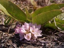 arbutus flowers