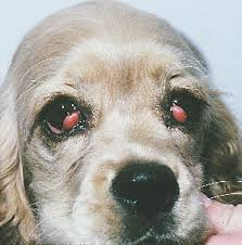 cherry eye in canines