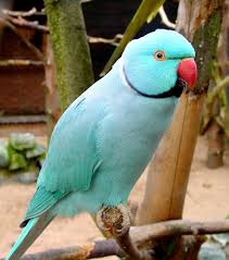 ring necked parrot