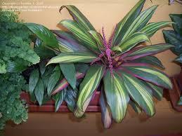 hawaiian good luck plant