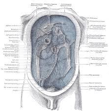 diagram of human abdomen