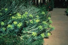 euphorbia biglandulosa
