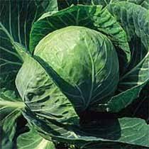 Brassica oleracea Capitata Group 'Offenham 2'