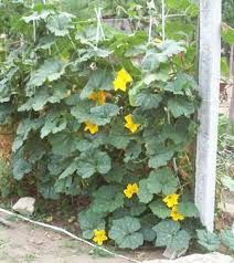 butternut squash plants