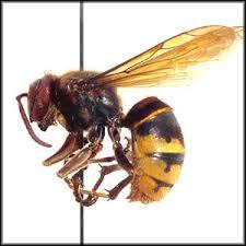 european hornets