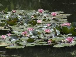 monets water lilies
