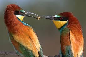 external image Two_bee-eaters_sharing_food.jpg&t=1