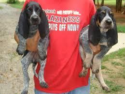 bluetick pups