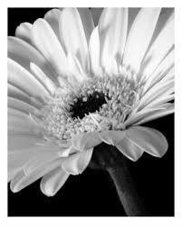 gerber daisies flowers
