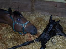 foaling mare