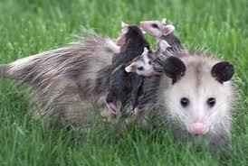 animals pregnancy