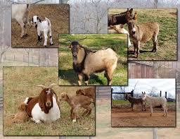 goat farm pictures