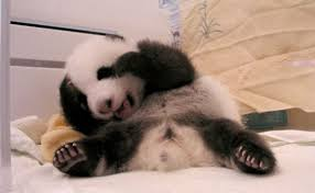 babies panda