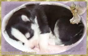 baby siberian huskies
