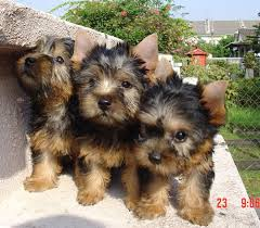 silky terrier puppies