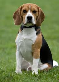 cocker spaniel beagle