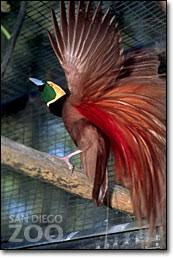 bird of paradise species