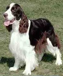 english springer spaniels pictures