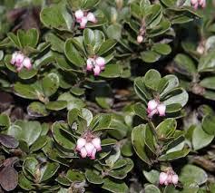 arctostaphylos uva ursi bearberry