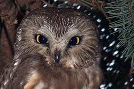 northern saw whet owl pictures