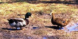 breeds of ducks