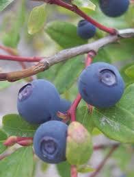 huckle berry