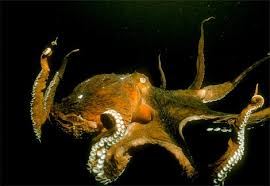 giant octopus picture