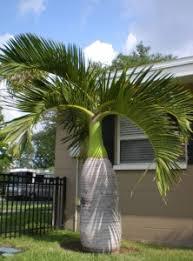 bottle palm trees