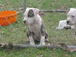 baby pitbull for sale