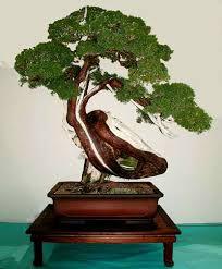 bonsai juniperus