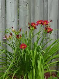 orange day lilies