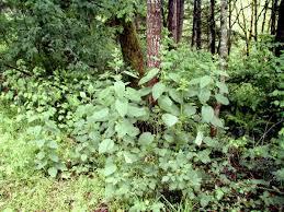 nettles plant