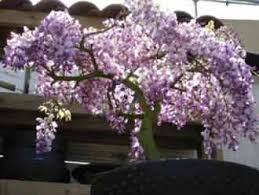 chinese wisteria tree