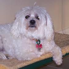 dog breeds maltese