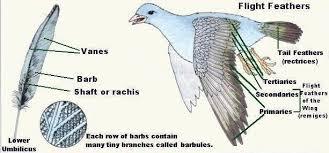 feathers birds