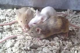 mice pets