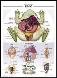 labeled frog anatomy