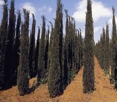 cypress sempervirens