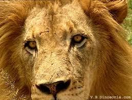 le lion d afrique
