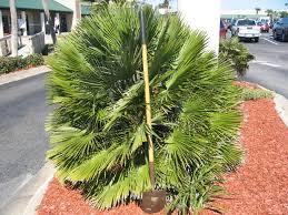european fan palm