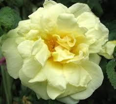 rosa rugosa agnes