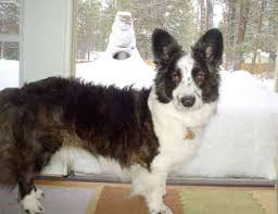 cardigan corgi dogs