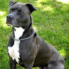 pictures on pitbulls