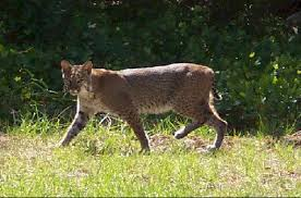 pictures of bobcats
