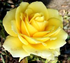 Great yellow rose closeup 644