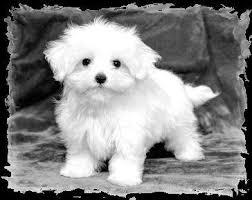 havanese maltese puppies