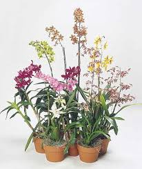 flowering orchids