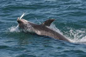 catching dolphin