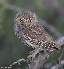 bird owls