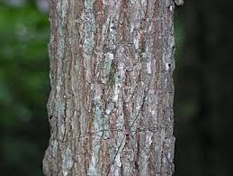 magnolia tree bark